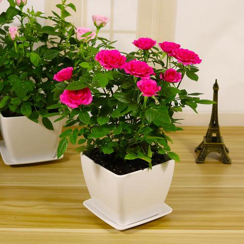 盆栽月季的养殖方法及注意事项是什么