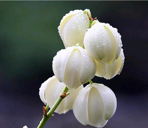 凤尾兰的外形特点及品种简介