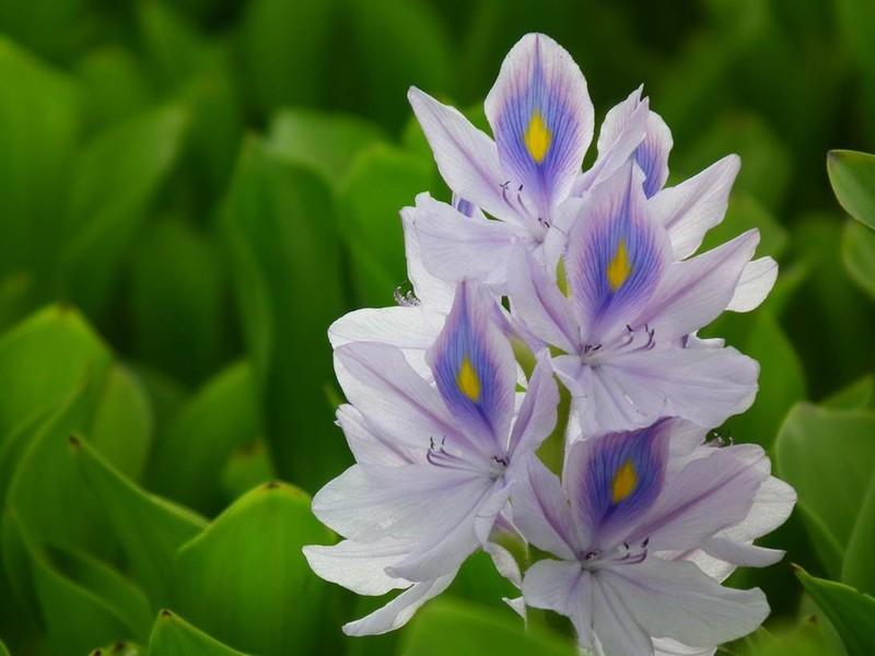 凤眼莲的栽培要点都有哪些技巧