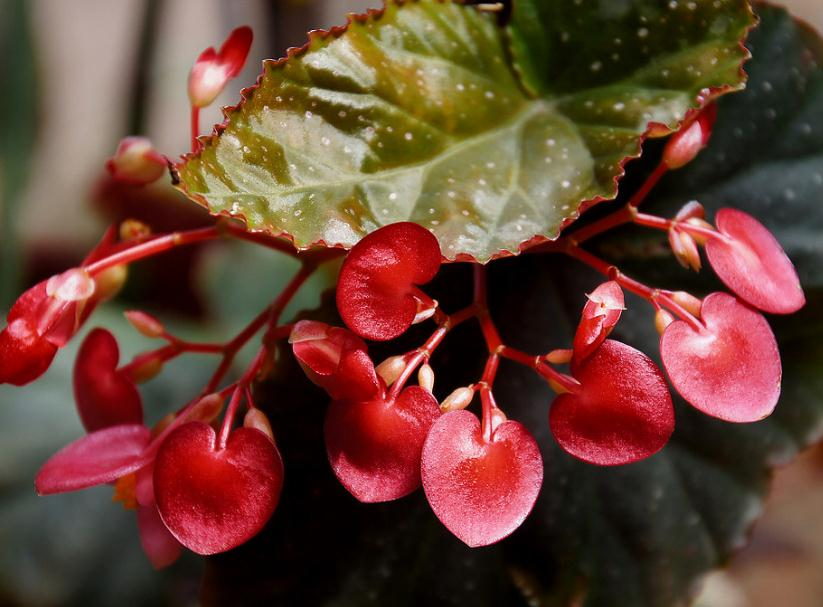 竹节秋海棠的夏季养护方法都有哪些呢