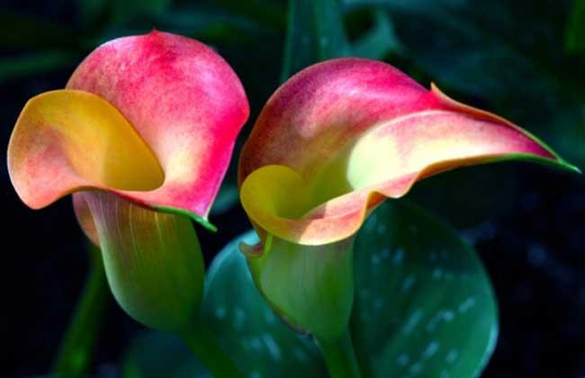 彩色马蹄莲的品种简介