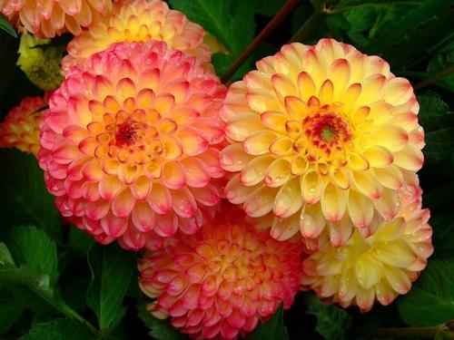 大丽花的栽培要点是哪些