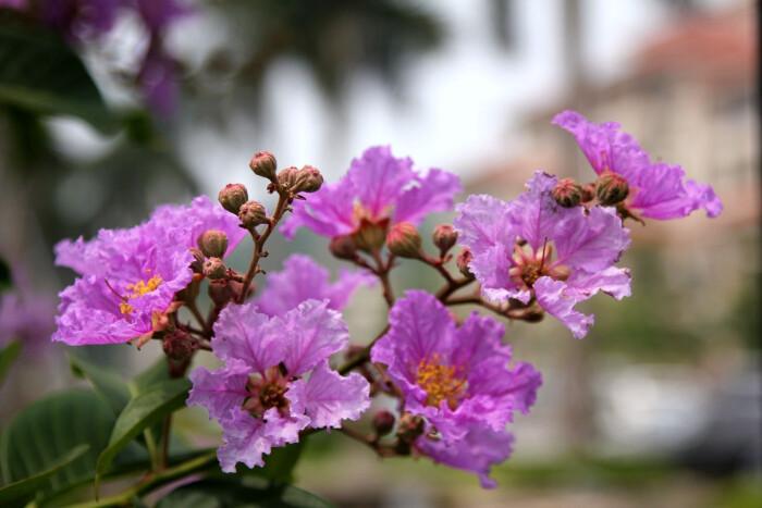 大花紫薇的栽培要点是哪些呢