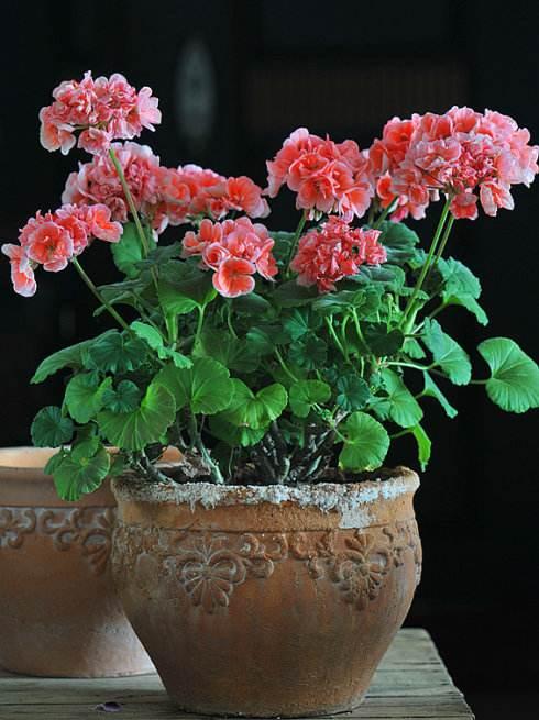 天竺葵的特点及品种简介