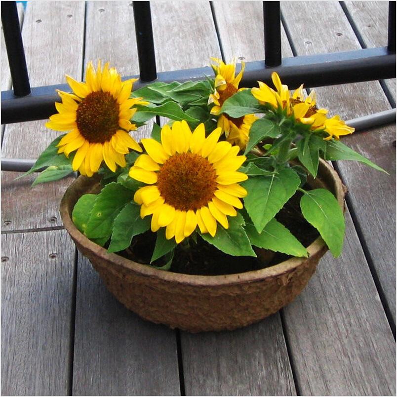 矮生向日葵栽培技术 野生向日葵怎么种植