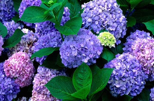 八仙花的品种简介