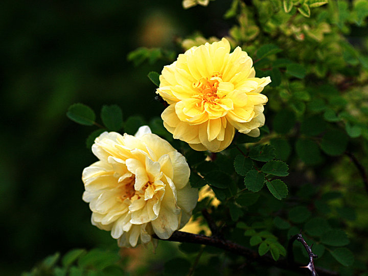黄刺玫的外形特点及品种简介