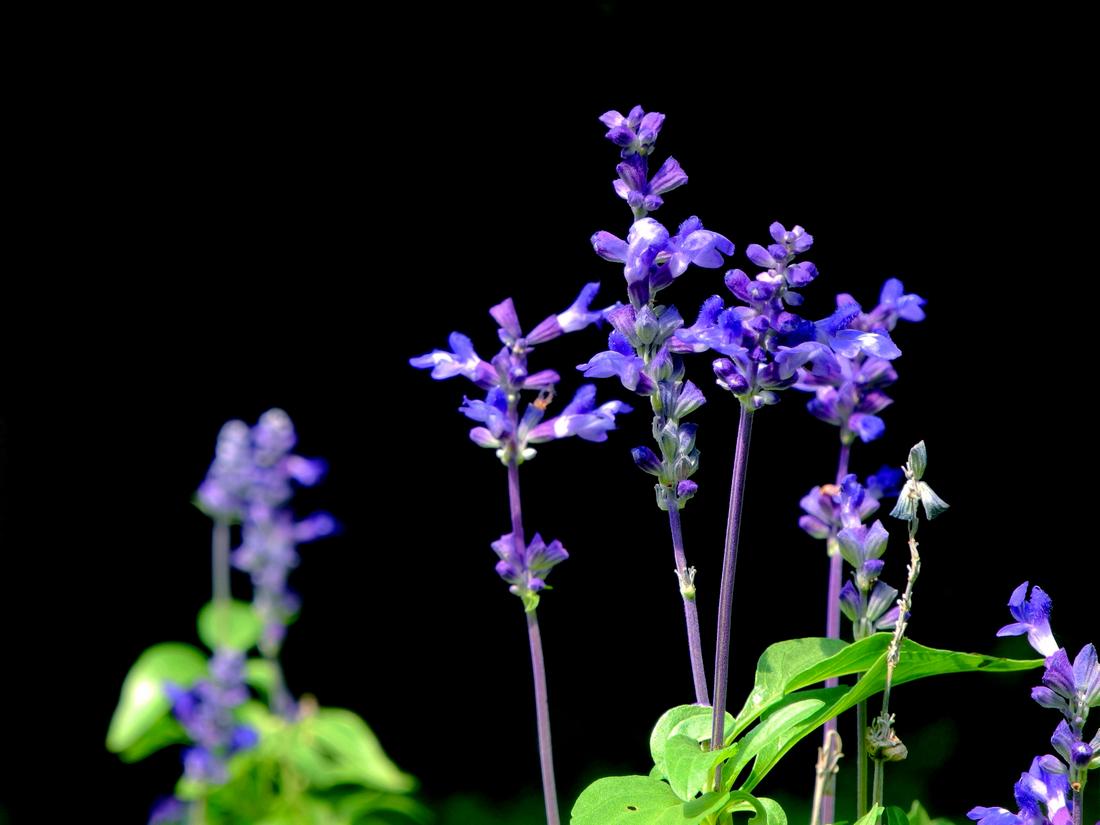 蓝花鼠尾草的栽培要点是哪些