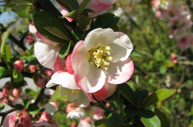 木瓜海棠的栽培要点有哪些