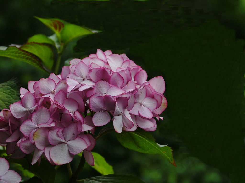 绣球花的品种简介