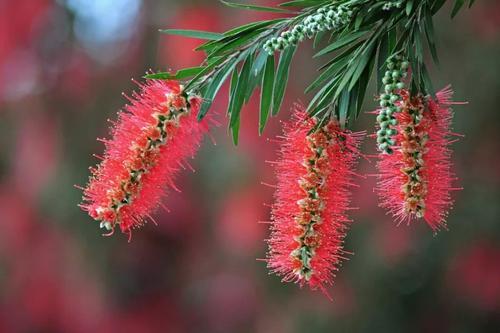 垂枝红千层的栽培要点是哪些