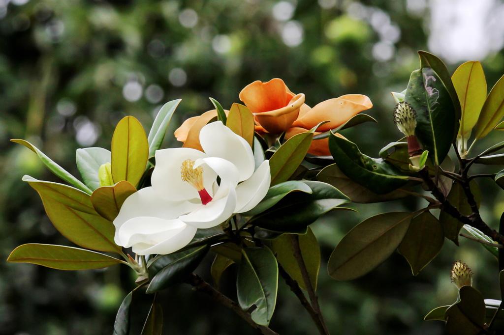 春季移栽玉兰树技巧与养护要点是哪些