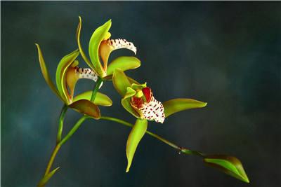 斑舌兰的养殖方法和注意事项简介
