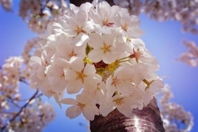 东京樱花的栽种要点是哪些呢