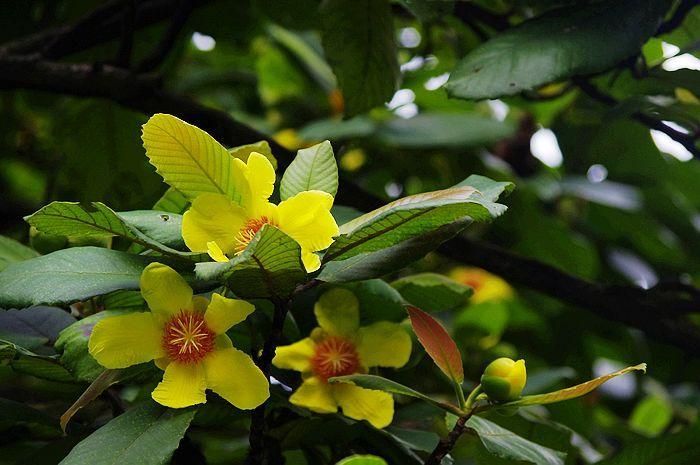 大花第伦桃的繁殖与栽培是什么样子的