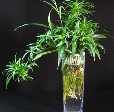 吊兰的栽培与养护之吊兰的叶子变黑
