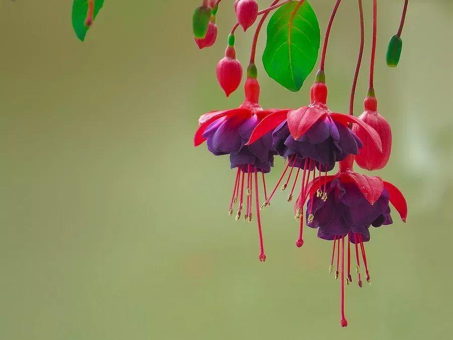 吊钟海棠夏季如何管理