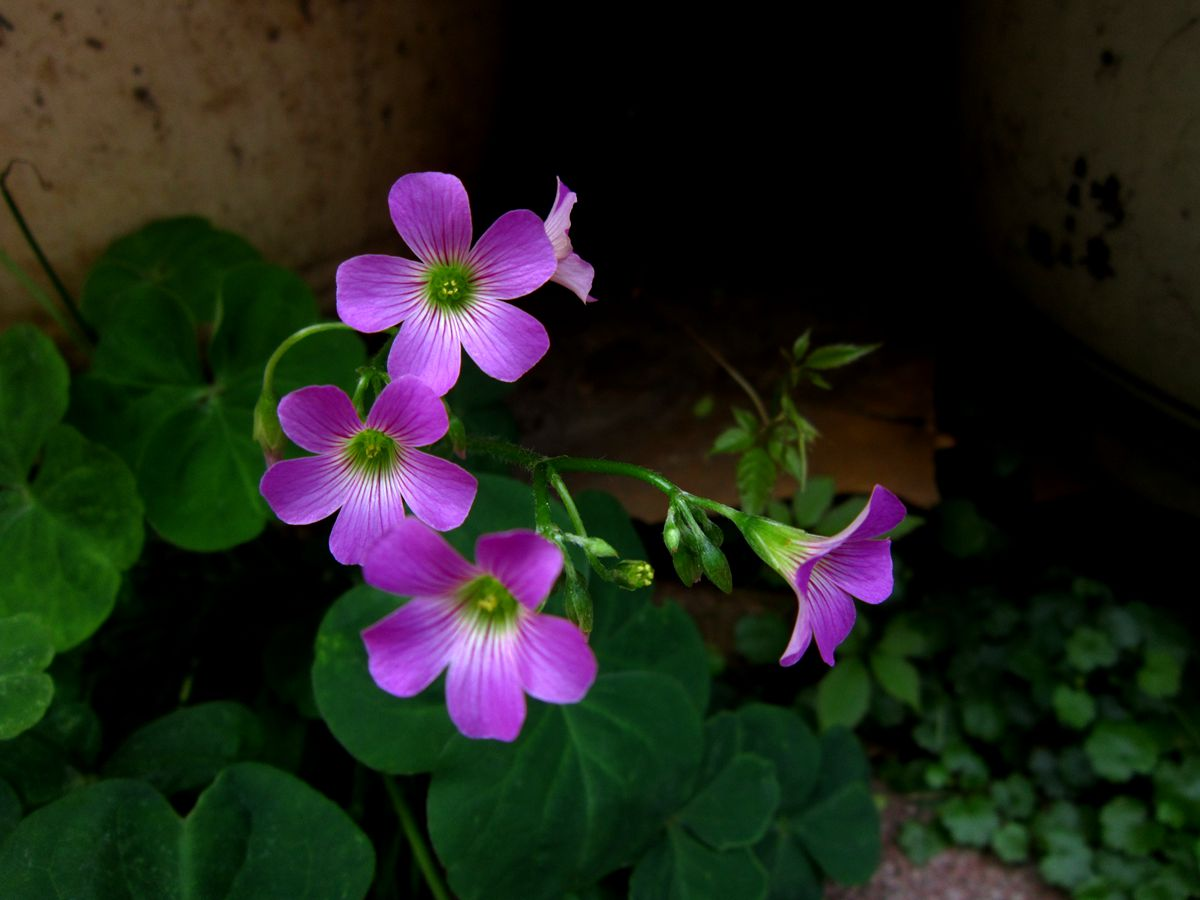 红花醡浆草如何安全过冬