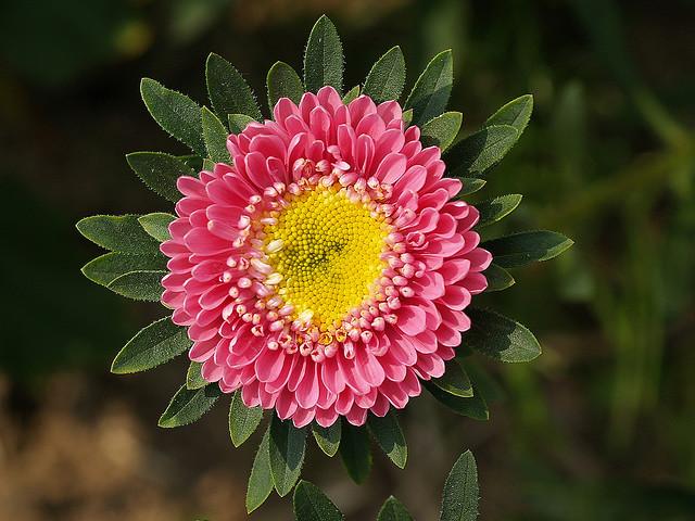 翠菊的栽培方法与注意事项是什么