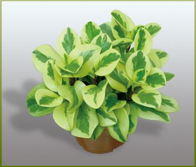 """""""养不死""""的办公室绿色植物推荐"""