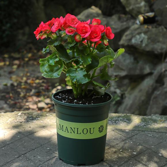 玫瑰海棠该如何种植?