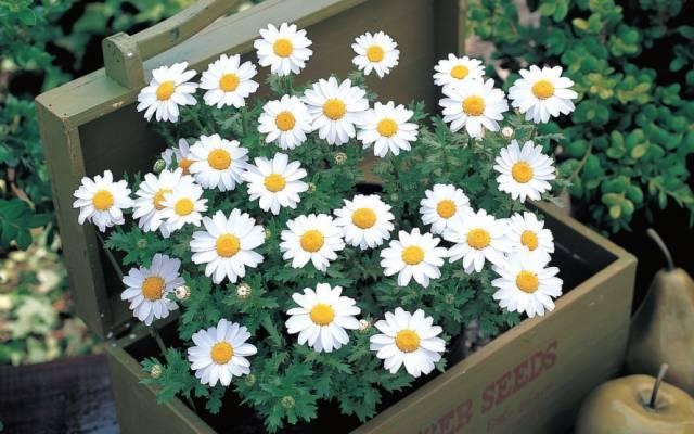 白晶菊的品种简介
