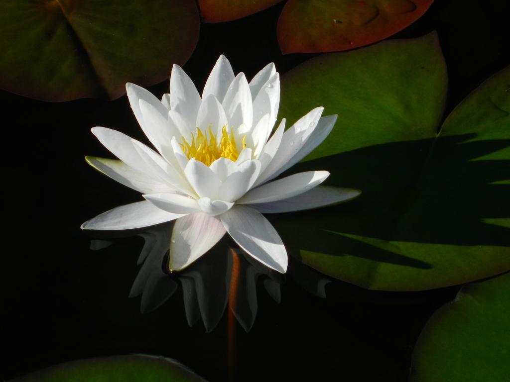 白睡莲的品种简介