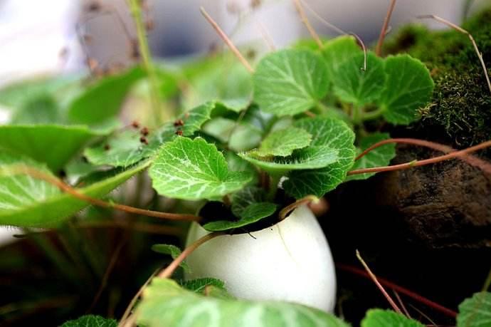 盆栽虎耳草怎么养