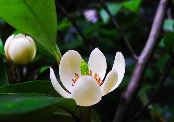 盆栽含笑夏季如何施肥
