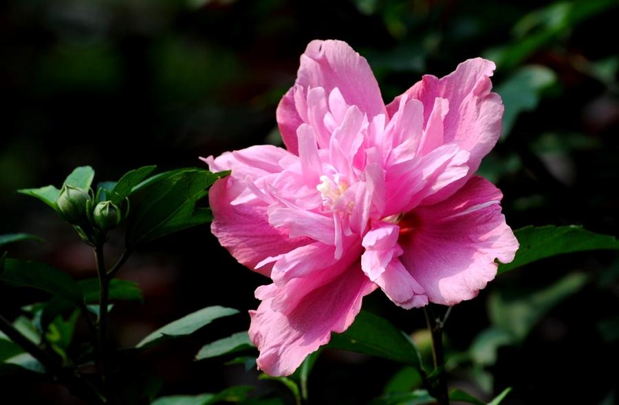 粉紫重瓣木槿的品种简介