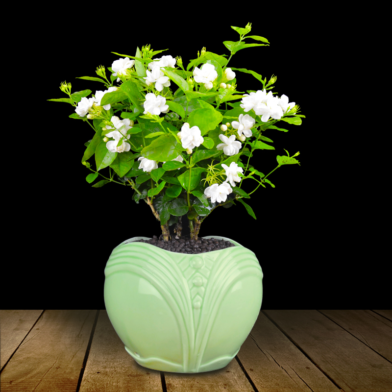 茉莉花盆栽的换盆及浇水方法是什么