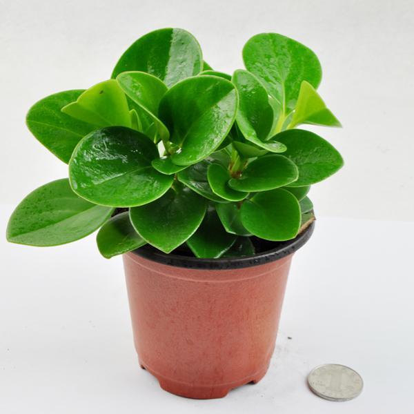 豆瓣绿(碧玉)的养护需要注意什么