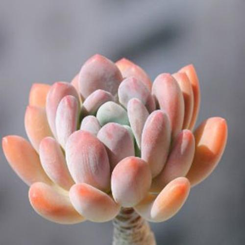 多肉萌宠桃美人的种植养护方法是什么