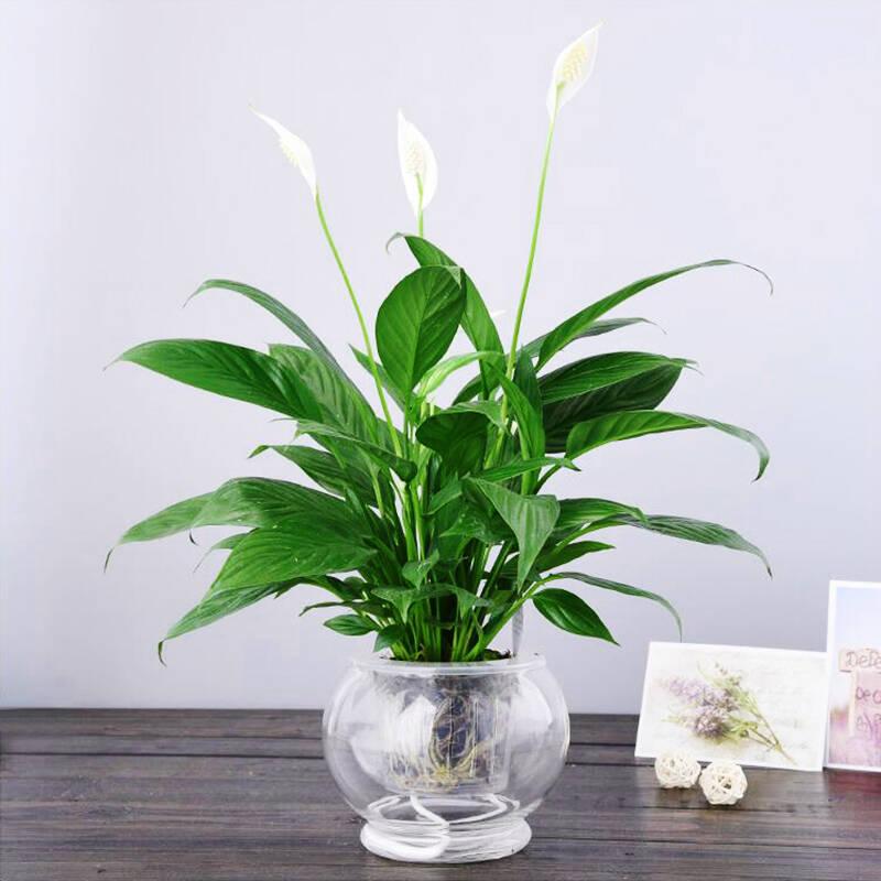 白掌花种植栽培技术是什么
