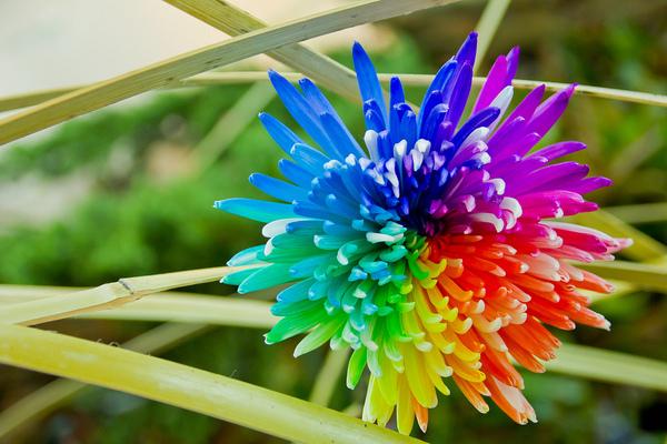 彩虹菊的养殖方法是什么