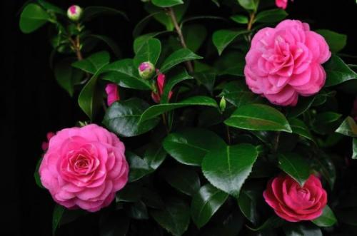 茶梅盆栽养护要注意的几点是什么