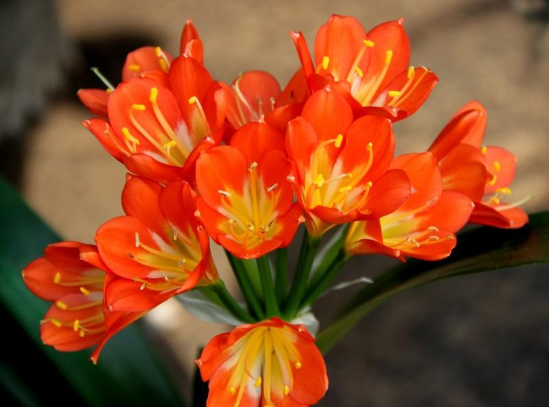 大花君子兰的繁殖和栽培技术是什么