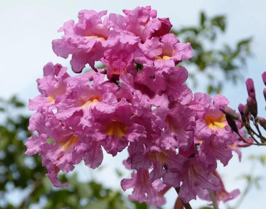 红花风铃木怎么养殖