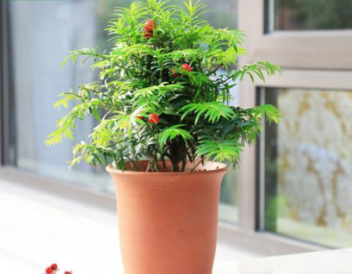 红豆杉的养殖方法和注意事项是什么