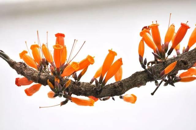 火烧花的栽培要点有哪些