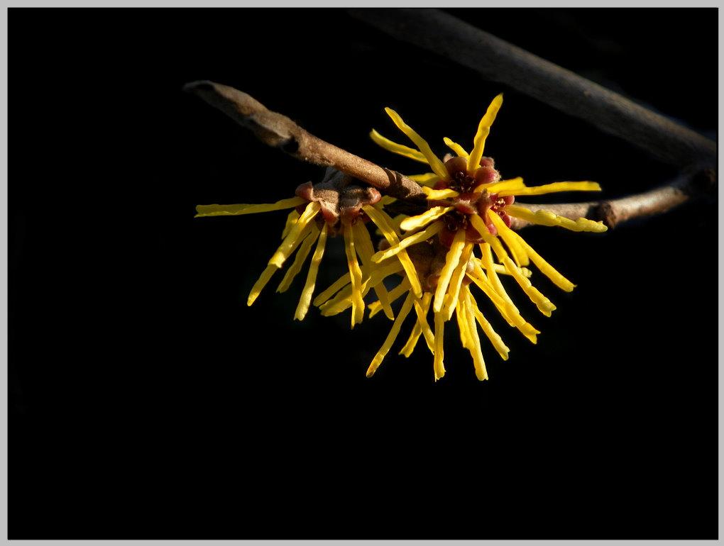 金缕梅的栽培方法与要点有哪些
