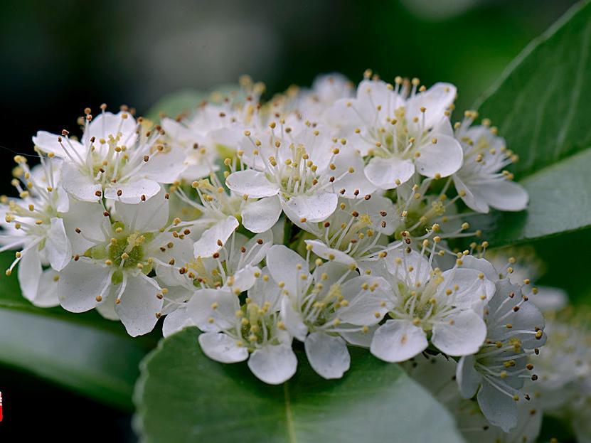 石楠花的栽培要点是什么