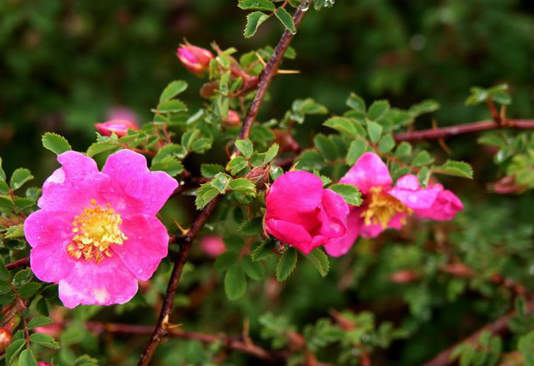 刺蔷薇怎么施肥