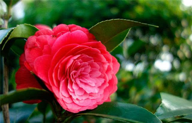 赤丹茶花的养殖方法及养殖注意事项是什么