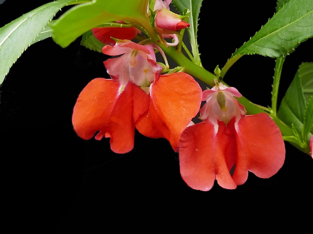 凤仙花的养殖方法与注意事项是什么