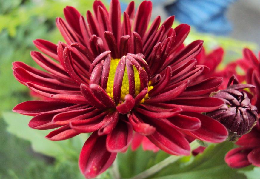 红色菊花的花语是什么