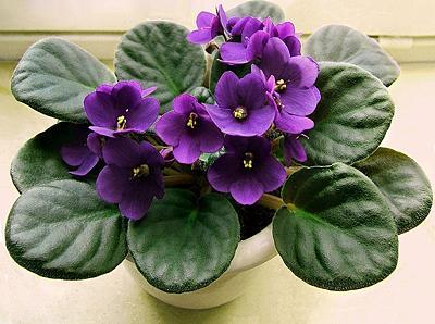 非洲紫罗兰怎样进行叶插繁殖
