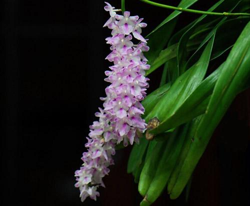 多花指甲兰的品种简介