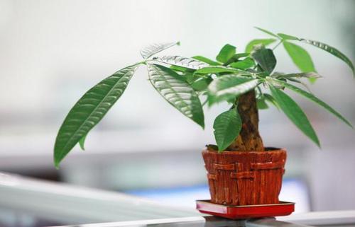 发财树常见的病害-根和叶