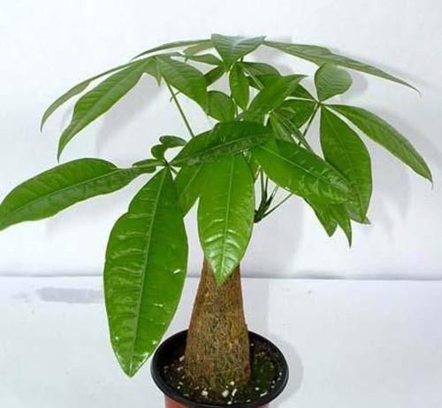 发财树的养护注意事项是哪些